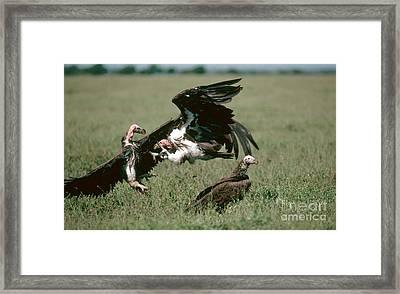 Vulture Fight Framed Print by Gregory G. Dimijian, M.D.