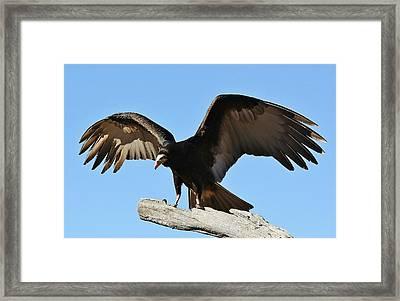 Vulture Wings Framed Print by Paulette Thomas