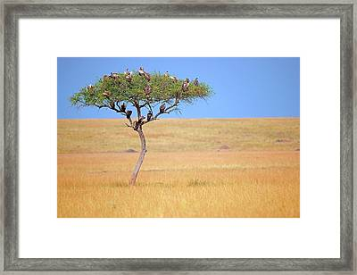 Vultures In Acacia Tree Framed Print by Bildagentur-online/mcphoto-schulz