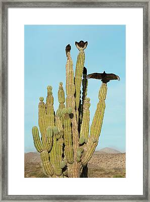 Vultures On A Cactus Framed Print by Christopher Swann