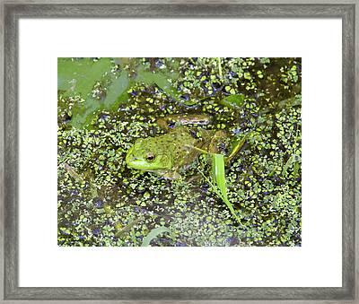 Wa, Juanita Bay Wetland, Bullfrog Framed Print by Jamie and Judy Wild