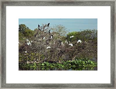 Wading Birds Roosting In A Tree Framed Print by Bob Gibbons