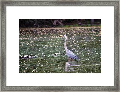 Framed Print featuring the photograph Wading Crane by Susan  McMenamin
