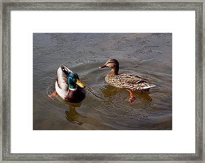 Wading Ducks Framed Print by Rona Black
