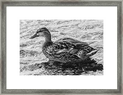 Wading Female Mallard Framed Print