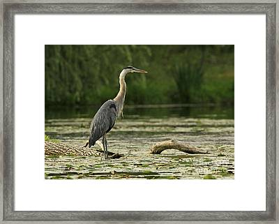 Wading For The Catch Of The Day Framed Print by Inspired Nature Photography Fine Art Photography