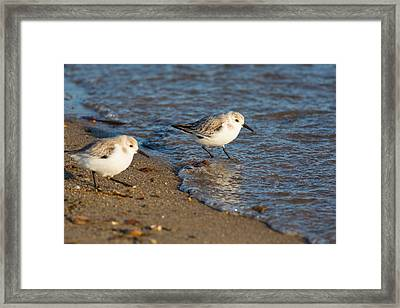Wading Sanderlings Framed Print