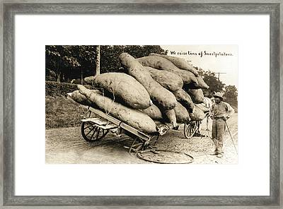 Wagon Of Giant Sweet Potatoes Framed Print by Underwood Archives