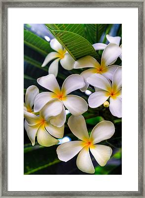 Wailea Plumerias Framed Print by Kelly Wade