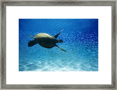 Waimea Turtle Framed Print by Sean Davey