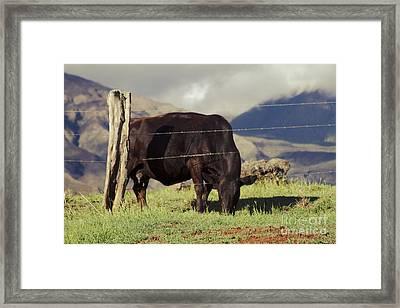 Cow Browsing In Evening Light Waiopae Maui Hawaii Framed Print by Sharon Mau