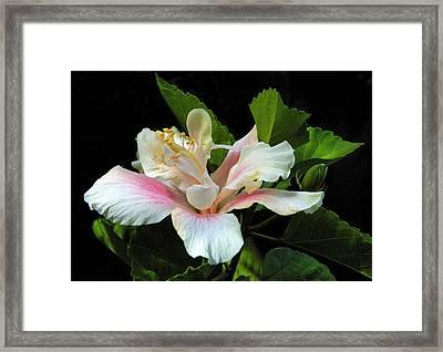 Waitangi White Hibiscus Framed Print by Linda Phelps