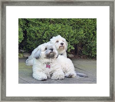 Framed Print featuring the photograph Havanese Dog Sisters by Laurie Tsemak