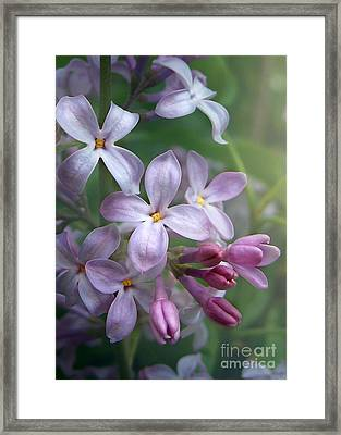 Waiting For Lilacs Framed Print