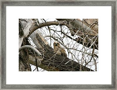 Waiting Owlet Framed Print by Rebecca Adams