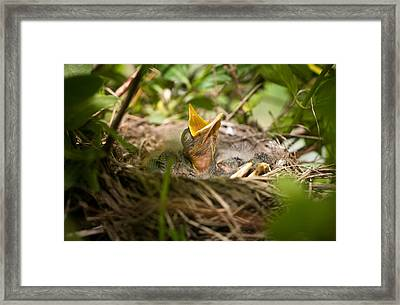 Waiting To Be Fed-robin Framed Print