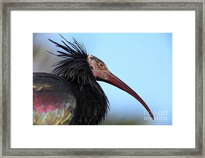 Waldrapp Ibis 5d27031 Framed Print by Wingsdomain Art and Photography