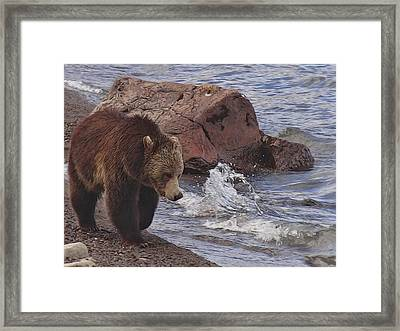 Walking Grizzly Bear On Lakeshore Framed Print by Dan Sproul
