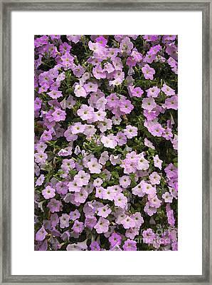 Wall Of Petunias Framed Print by Elena Elisseeva