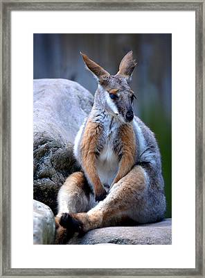 Framed Print featuring the painting Wallaroo 1 by Amanda Vouglas