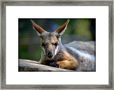 Framed Print featuring the photograph Wallaroo 2 by Amanda Vouglas