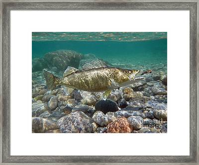 Walleye And Crawdad Framed Print