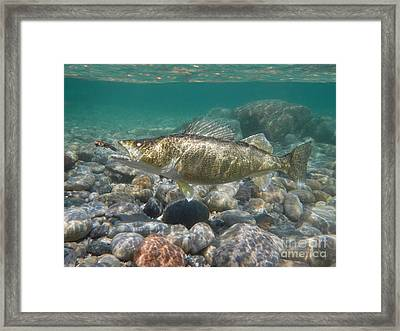 Walleye And Crayfish Framed Print by Paul Buggia