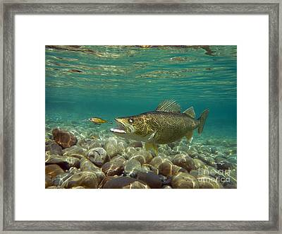 Walleye And Live Target Lure Framed Print by Paul Buggia