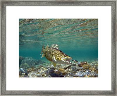 Walleye And Rapala Lure Framed Print by Paul Buggia