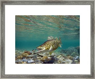 Walleye And Rapala Framed Print