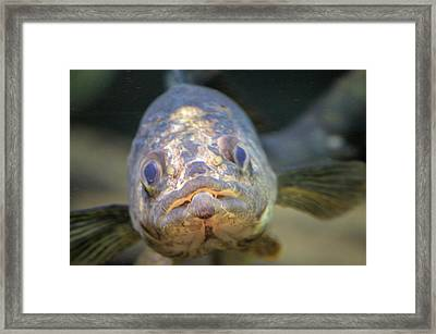 Walleye Framed Print by Bonfire Photography