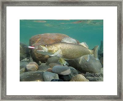 Walleye Duped By Dardevle  Framed Print
