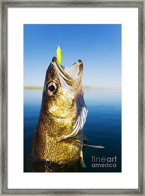 Walleye Fishing Framed Print by Steve Mcsweeny