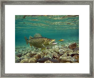 Walleye In Pursuit Framed Print