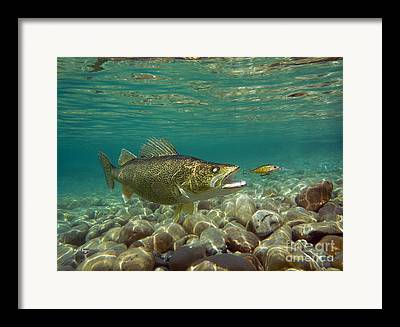 Walleye Mixed Media Framed Prints