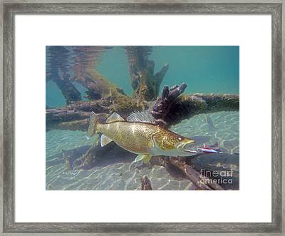 Walleye Pike And Dardevle Framed Print by Paul Buggia