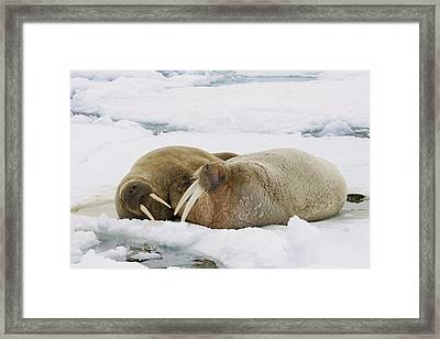 Walrus Male And Female On Ice Floe Framed Print