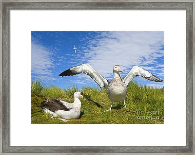 Wandering Albatross Courting  Framed Print