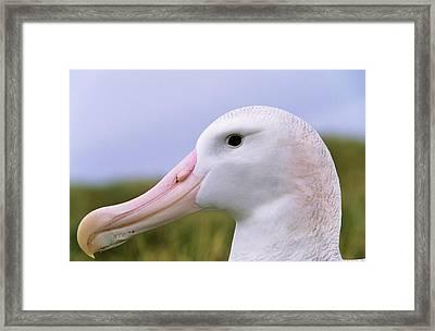 Wandering Albatross (diomendea Exulans Framed Print