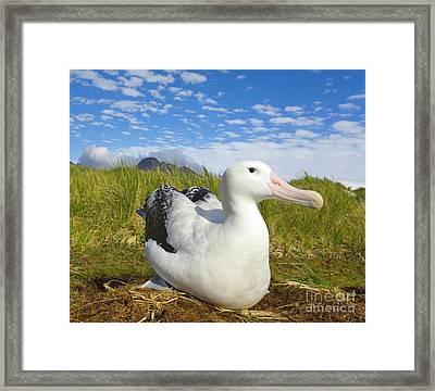 Wandering Albatross Incubating  Framed Print