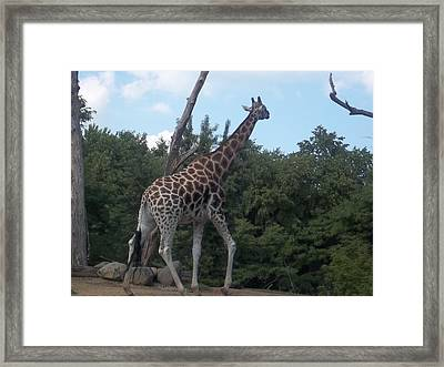 Wandering Griffe Framed Print