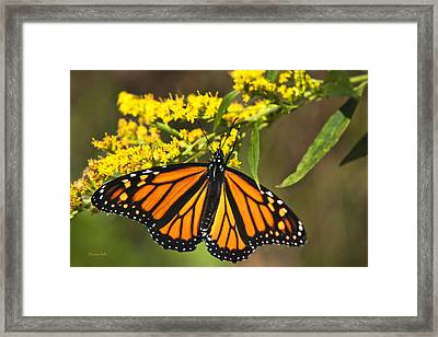 Wandering Migrant Butterfly Framed Print by Christina Rollo