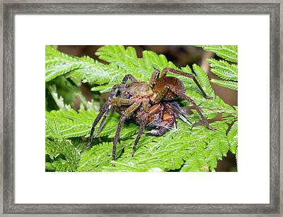Wandering Spider Eating Another Spider Framed Print by Dr Morley Read