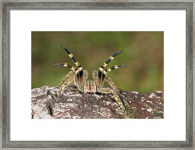 Wandering Spider In Defensive Posture Framed Print by Konrad Wothe