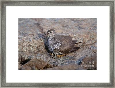 Wandering Tattler With Chick Framed Print