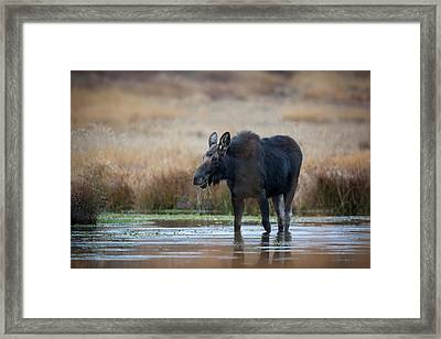 Wapiti Wyoming Usa Female Moose Eating Framed Print by Janet Muir