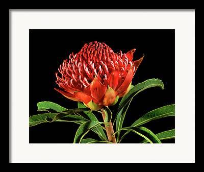 Proteaceae Framed Prints