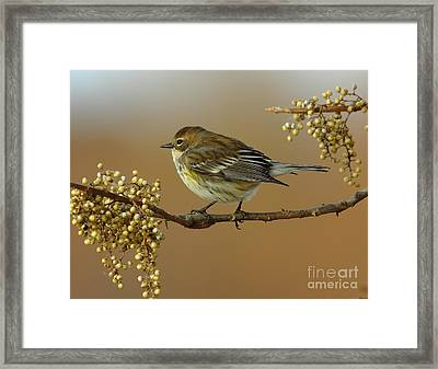 Yellow Rumped Warbler Framed Print by Robert Frederick