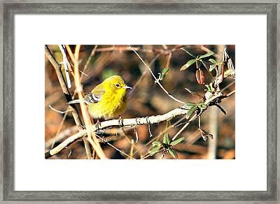 Warbler Framed Print by Debbie Sikes