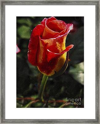Warm Colored Rosebud  Framed Print